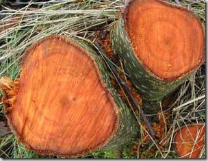 Цвет древесины ольхи